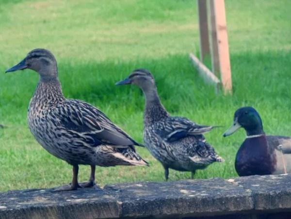 3 ducks in a row - garden visitors
