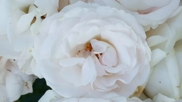 Beautiful white roses
