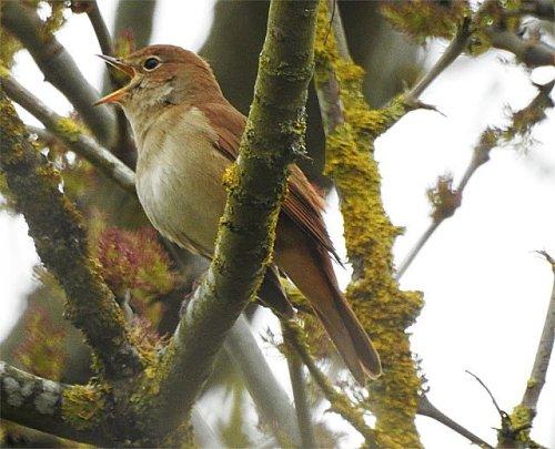 DSCN3375 Nightingale