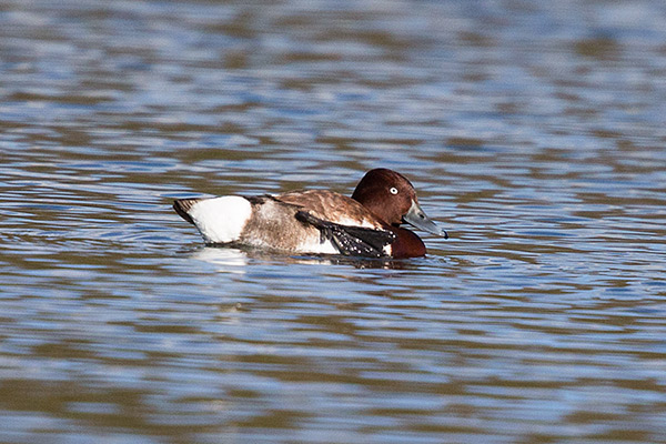 Ferruginous Duck 2