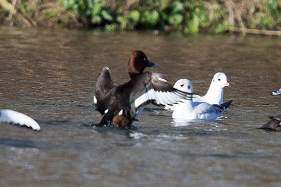 Ferruginous Duck 6