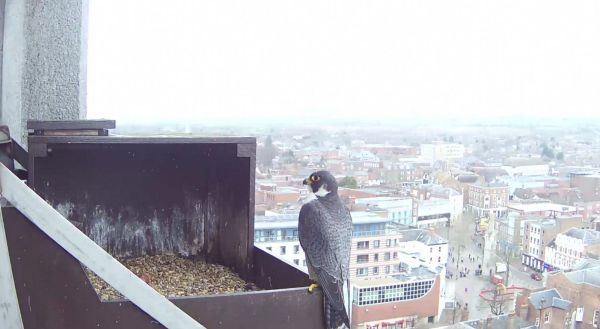 Peregrine-video329-1600