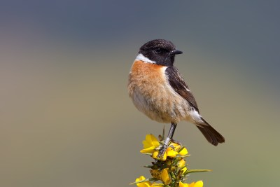 Stonechat-a