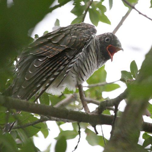 cuckoo_3614b-1000