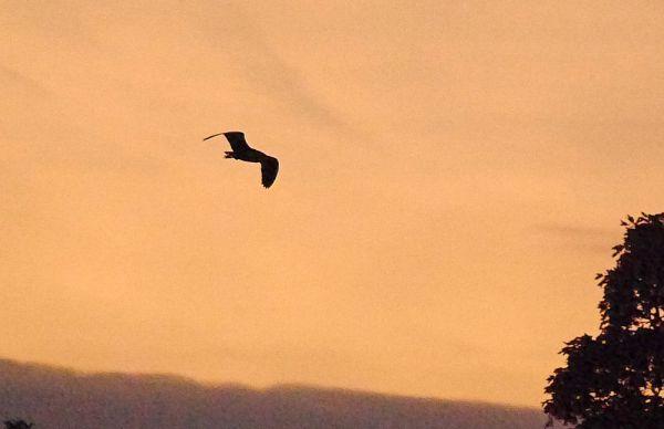 p1320619-black-crowned-night-heron-1000