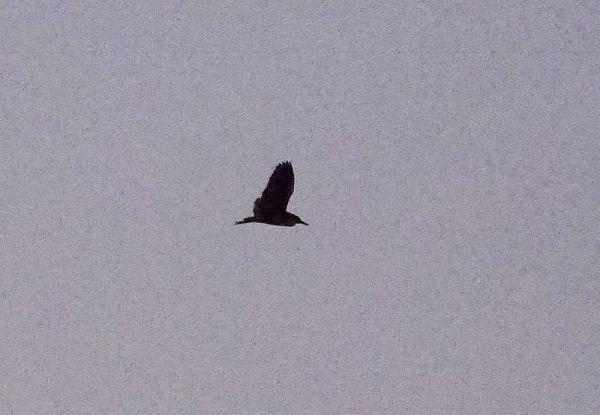 p1320640-black-crowned-night-heron-1000