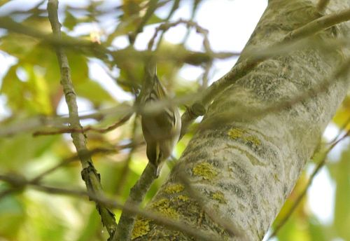 p1320802-yellow-browed-warbler-1000