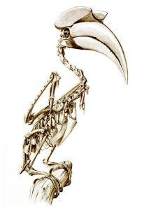 great-hornbill-skeleton-small