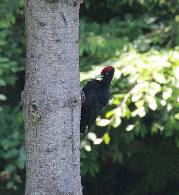Black Woodpecker -  Magura