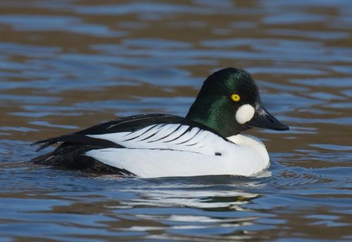 Goldeneye - One of the ducks we hope to see.