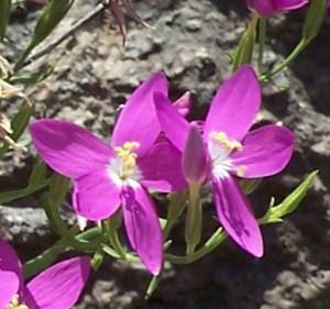 Mountain Pink Zeltnera beyrichii indiv flowers 03 Linda C Southwest Austin 06162005 1249pm