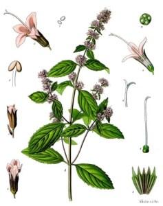 Peppermint (Mentha piperita). Source: Franz Eugen Köhler, Köhler's Medizinal-Pflanzen