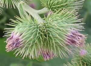 Flowers of the lesser burdock (Arctium minus), showing the hook-like projections covering the flower capsule. Courtesy Alberto Salguero, photographed 7 June 2005