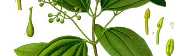 Cinnamon (Cinnamomum spp.)