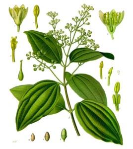 Cinnamon (Cinnamomum verum). Source: Franz Eugen Köhler, Köhler's Medizinal-Pflanzen