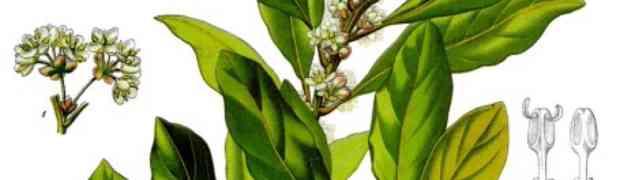 Bay (Laurus nobilis L.)