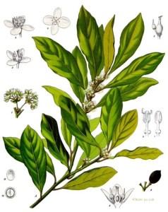 Bay (Laurus nobilis). Source: Franz Eugen Köhler, Köhler's Medizinal-Pflanzen
