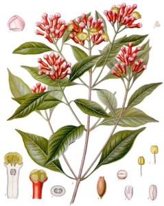 Clove (Syzygium aromaticatum). Source: Franz Eugen Köhler, Köhler's Medizinal-Pflanzen