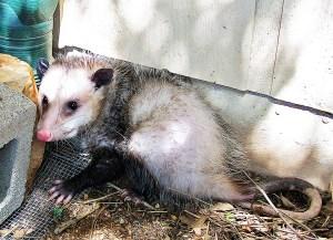 Virginia Opossum, Temple, Texas; 9 March 2010