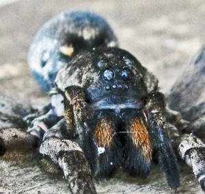 Lycosidae: burrowing wolf spider (Geolycosa, Montgomery 1904); facial; Bernard H., Lufkin, TX--6 Nov 2010