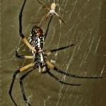 081510 175035 Araneidae: yellow garden spider (Argiope aurantia); ventral female, dorsal male; Amy P., Ponder TX