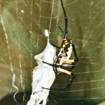 081510 180053 Araneidae: yellow garden spider (Argiope aurantia); lateroventral female, wrapping prey; Amy P., Ponder TX