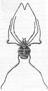 Opiliones: Cynorta sayii (from Comstock, 1912)