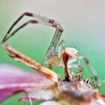 Thomisid Crab Spider male: ventrolateroposterior habitus; Regina Weishuhn, Grand Prairie, TX --- 16 April 2012