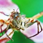 Thomisid Crab Spider male: frontodorsal habitus; Regina Weishuhn, Grand Prairie, TX --- 16 April 2012