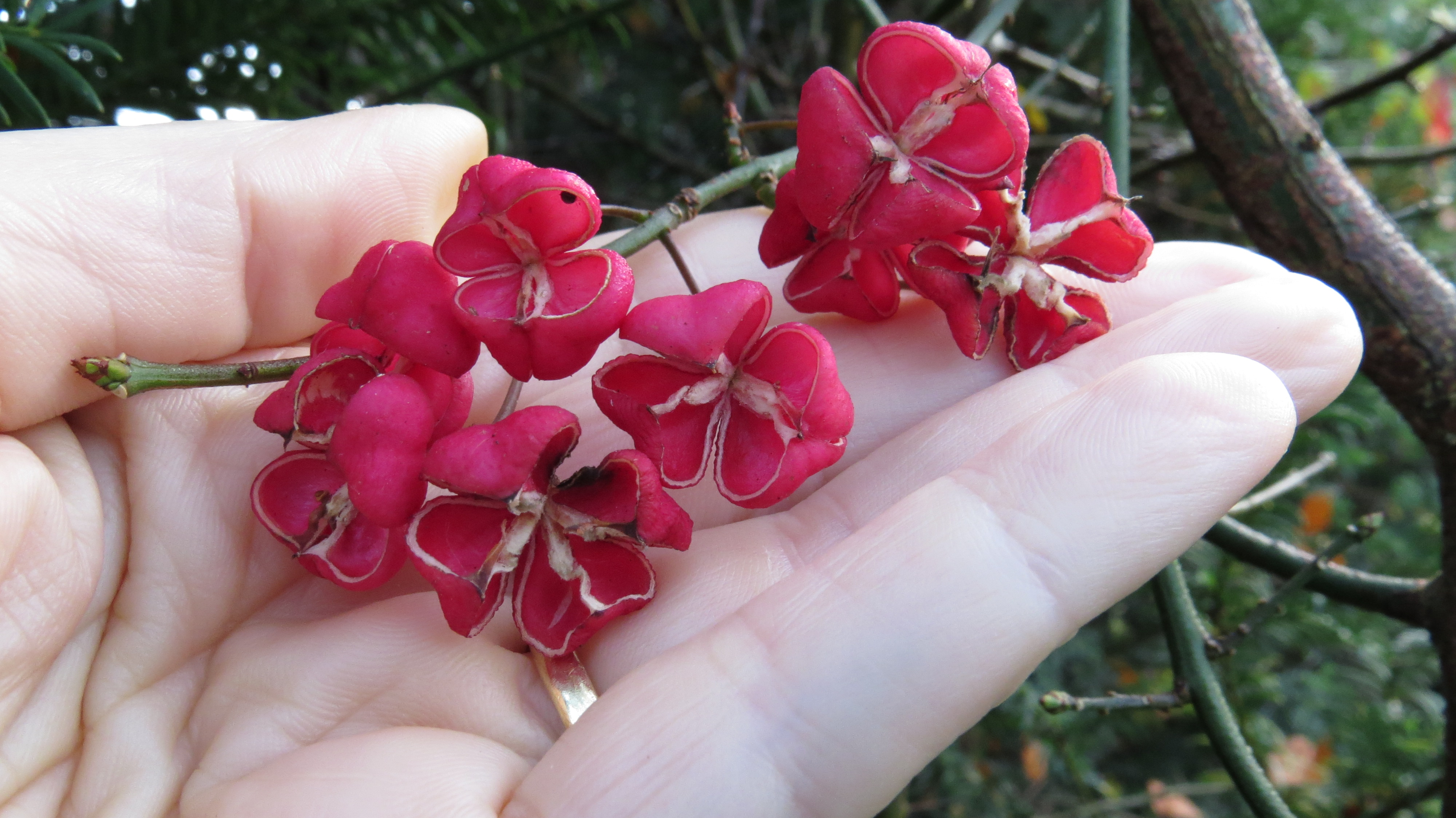 Reputable London Past To Provide Wood Objects Such As Knitting Bird Pipes November 2016 Bug Woman Adventures Spindle Is A Native Plant Which Was Cultivated houzz 01 Petals From The Past