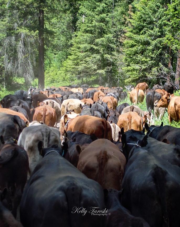 cattle drive 1049 FB WM