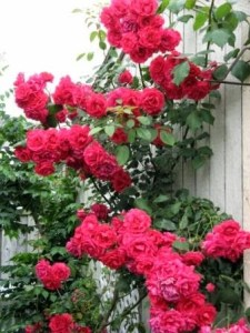 Clusters of Roses