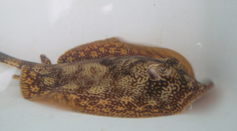 """This picture is of my experimental subject the yellow stingray (Urobatis jamaicensis). My project was to sew a tag onto the barb of the stingray and track the subjects using an underwater hydrophone. The purpose was to test the extent of the species' home-ranging, or the ability for an animal to return to the place from which it was removed.""""   Photo courtesy of Lizzie McNamee"""
