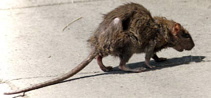 A rat on a stroll. Photo courtesy of Wikimedia commons.