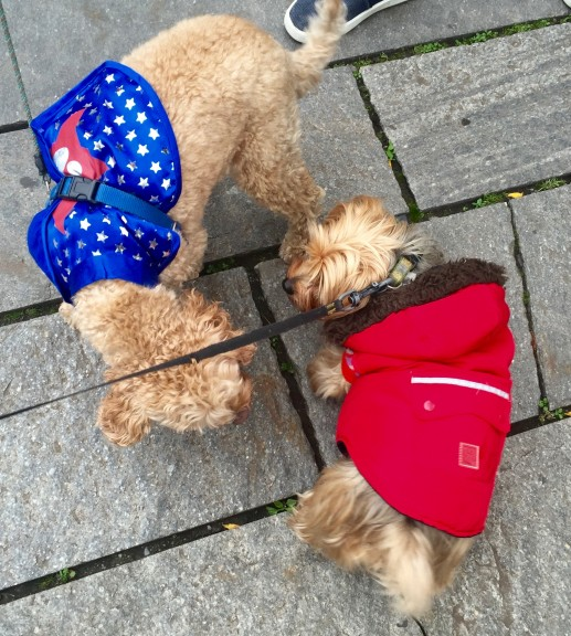 """Sparky, a bundled-up Yorkie, and this """"super"""" cockapoo check out each other's Halloween looks. 