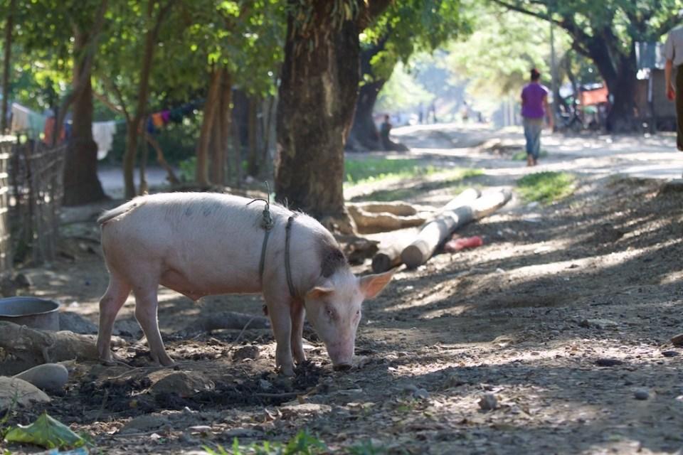 A friendly hog.