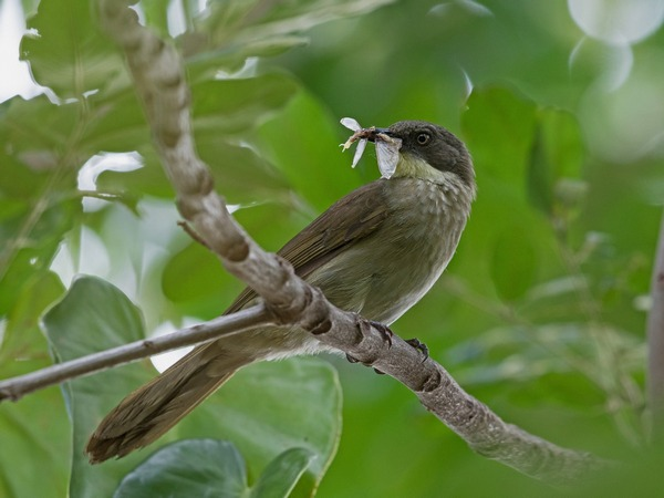 leaflove-yellow-throated_0779-1200