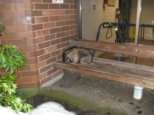 Poco Pete, the raccoon who has taken up residence on a bench at Poco Transit Centre.