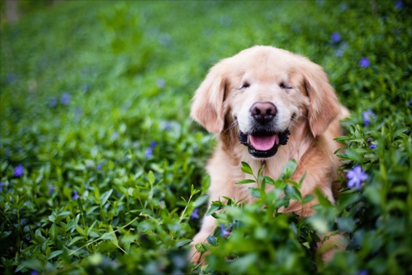 smiley-blind-therapy-dog-golden-retriever-stacey-morrison-2_R