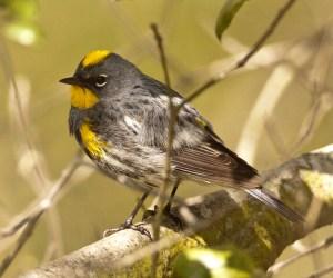 Yellow-rumped Warbler  by Steve Brad