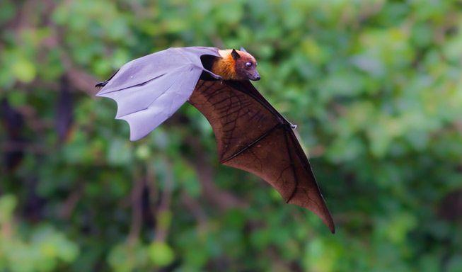Bat-Flying-Jungle-Trees.jpg.653x0_q80_crop-smart