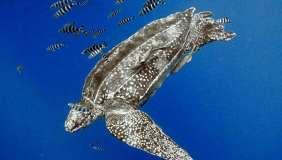 Leatherback sea turtle and fish