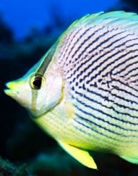 Butterfly Fish - BVI Snorkelling