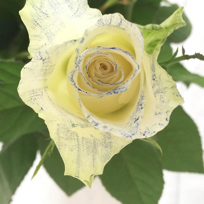 Mal rosene med vakre vannfarger