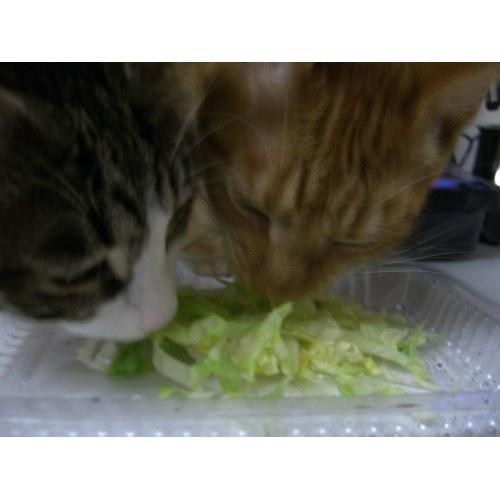 Medium Crop Of Can Cats Eat Lettuce