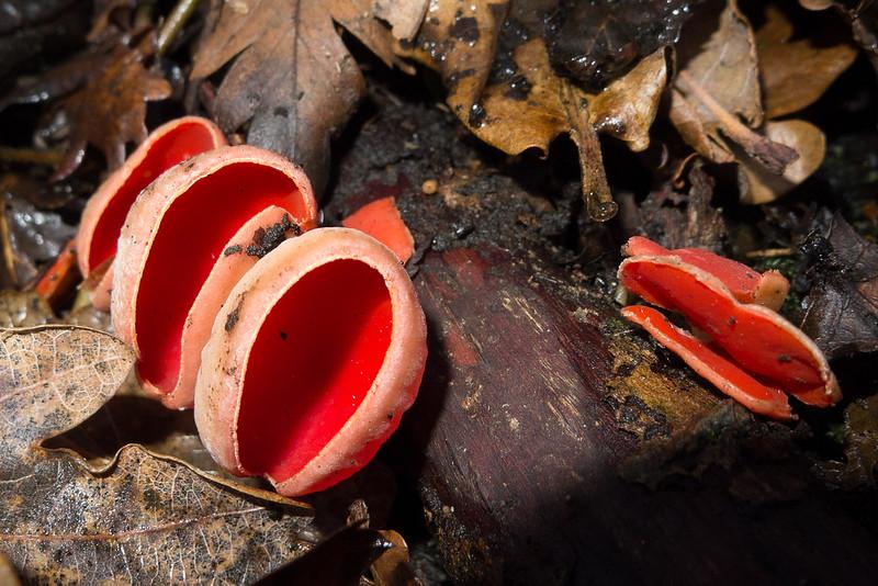 Scarlet Elfcups