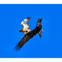 Small Crop Of Eagle Vs Hawk