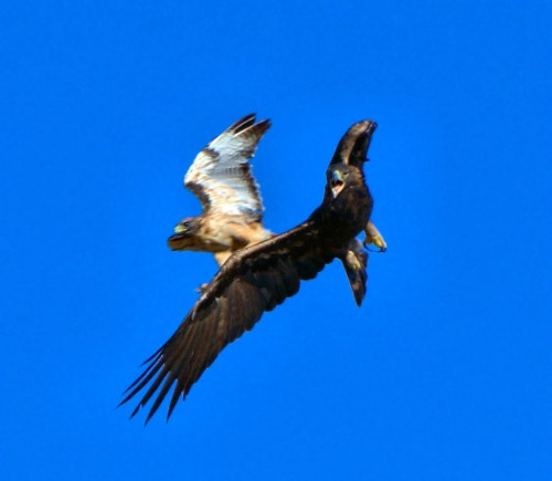 Medium Of Eagle Vs Hawk