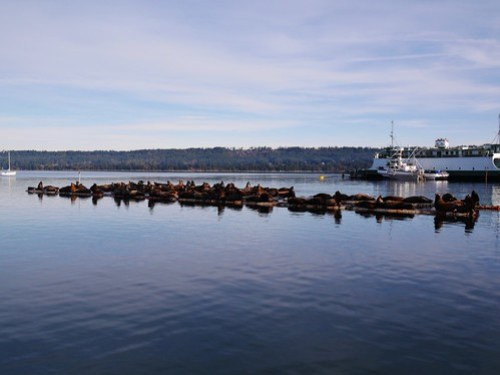 Sea lions in Fanny Bay