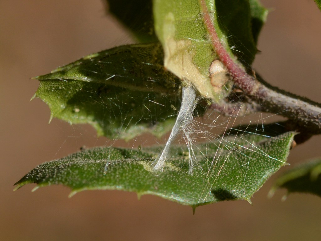 Picture Insect Webbing On Coast Live Oak Leaves By Treebeard Insect Webbing On Coast Live Oak Leaves This Photo Shows Flickr Live Oak Leaf Problems Live Oak Leaf Arrangement houzz-03 Live Oak Leaf